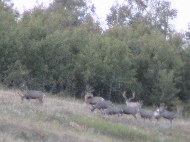 Mule Deer Bowhunting